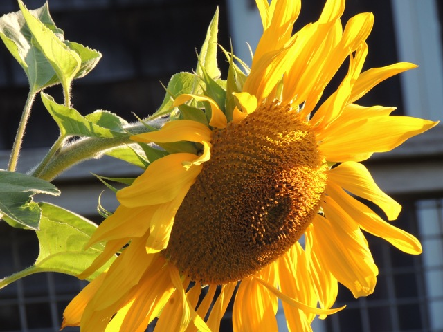Monhegan Sunflower