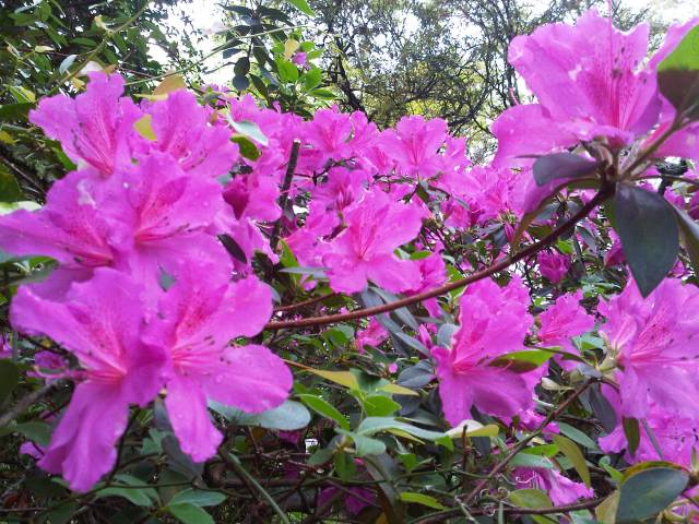 charleston rainy day azaleas
