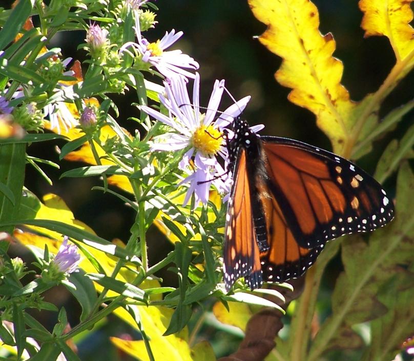 Butterfly on Monhegan
