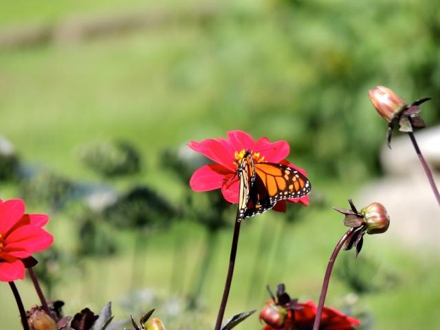 Monhegan Butterfly | artfoodhome.com