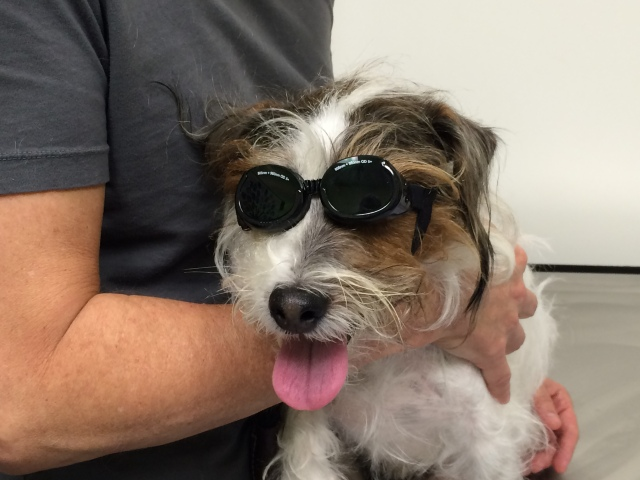 Charlie ready for laser treatment