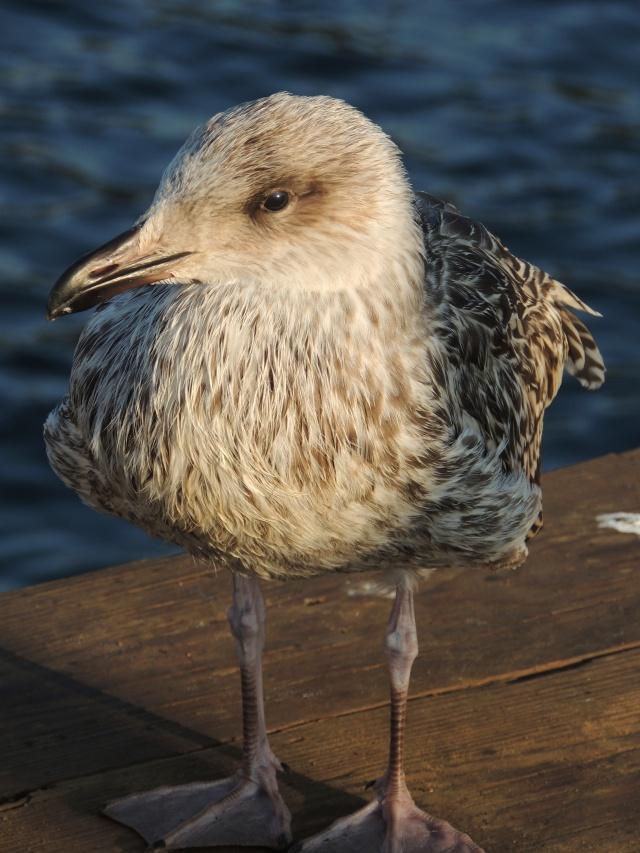 Cool bird - Monhegan