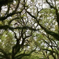 A Canopy of Oak Tree Limbs