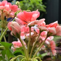 Gorgeous Geraniums!