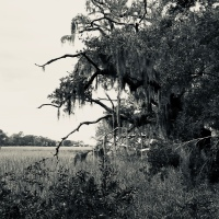 Craggy Tree - I'on Marsh - Mount Pleasant, SC