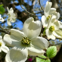 The Legend of the Dogwood Flower at Easter...
