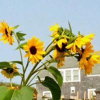 Happy Sunflowers - Monhegan, Maine