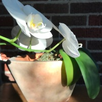 Orchid Rebloom #3!