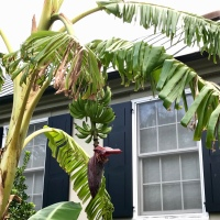 Bananas in Charleston?