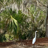 Great Egret - Daniel Island | Charleston, SC